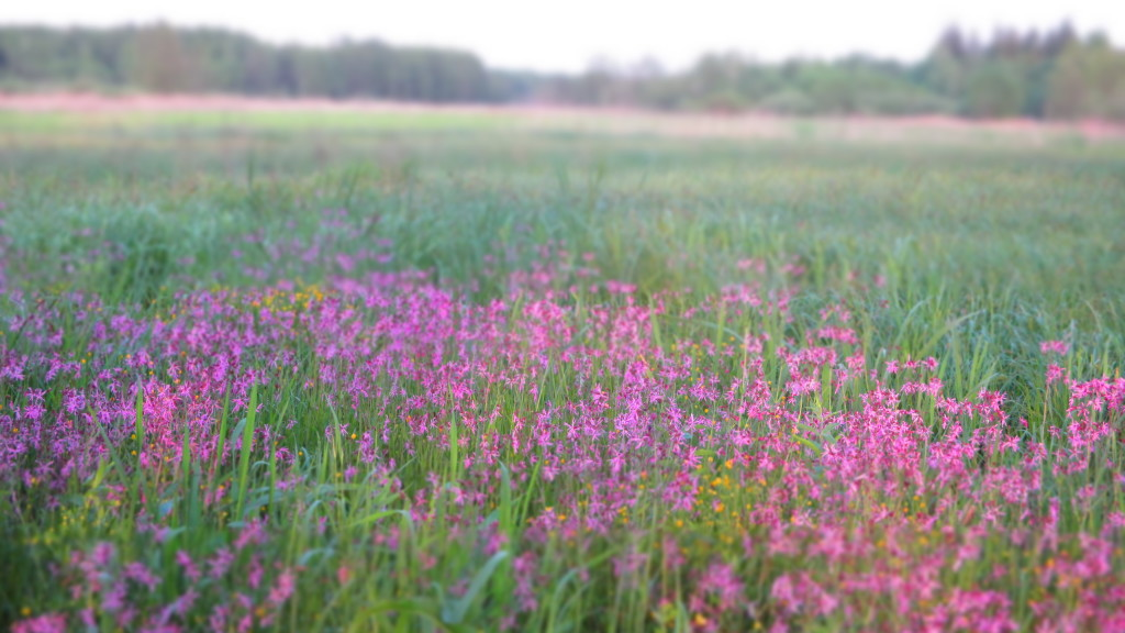 Łąka w pobliżu Narweki