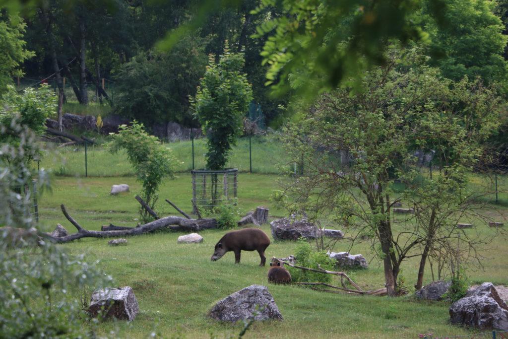 Tapir Nowe Zoo Poznań