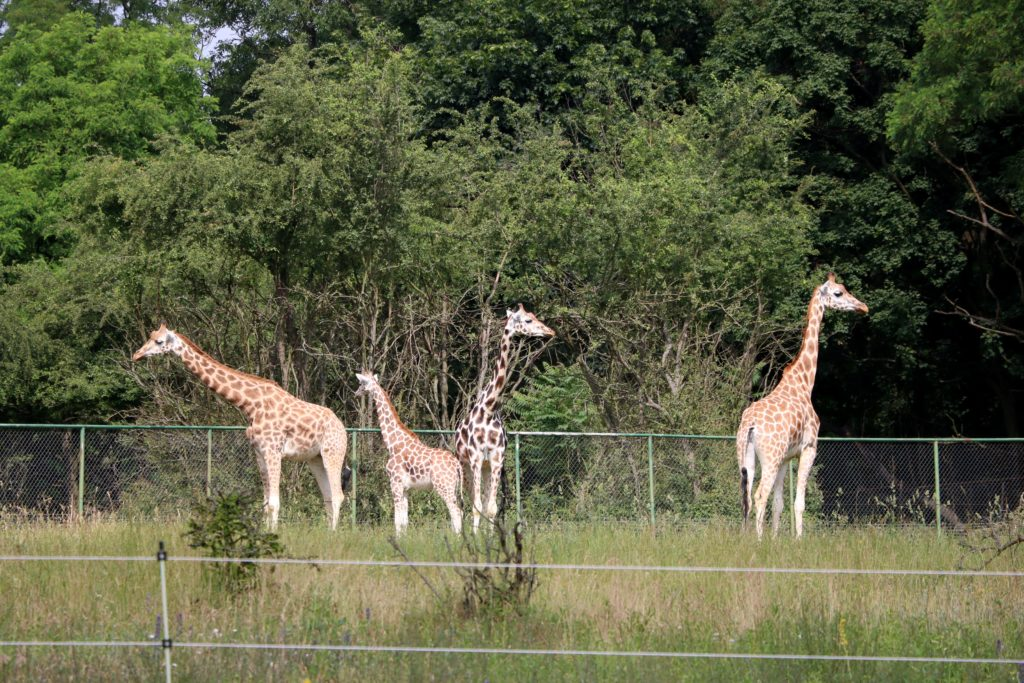Żyrafy Nowe Zoo Poznań