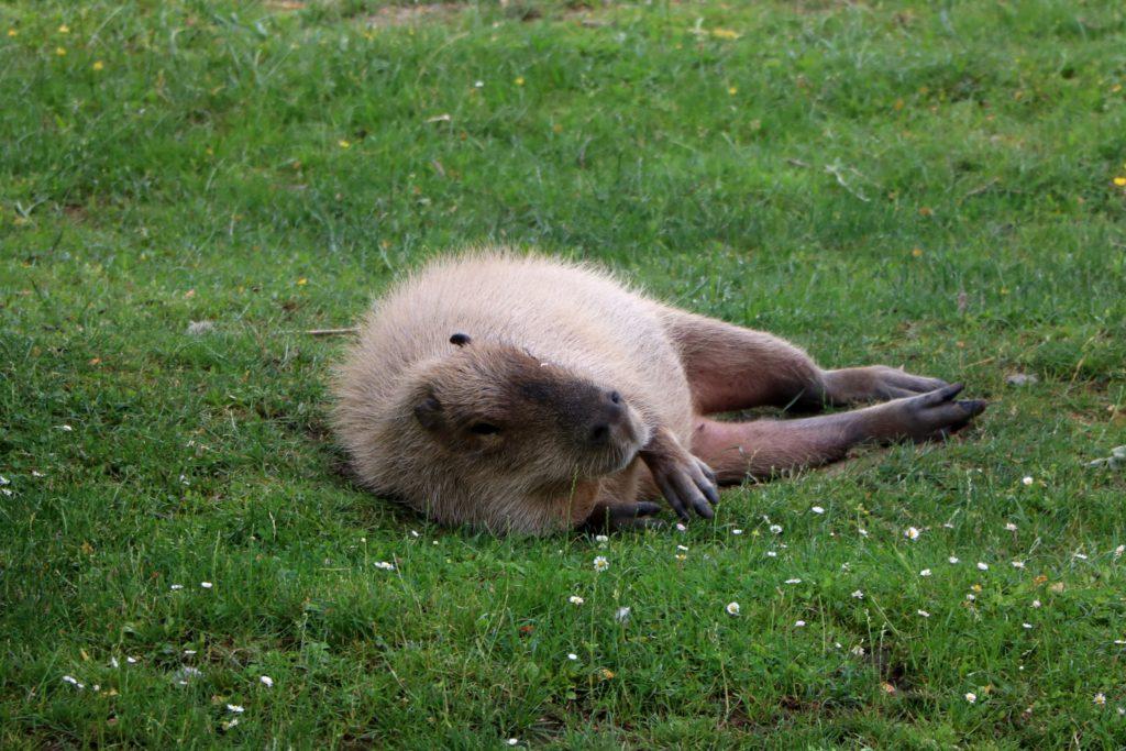 Kapibara po sobotniej imprezie - odpoczywa z tapirami